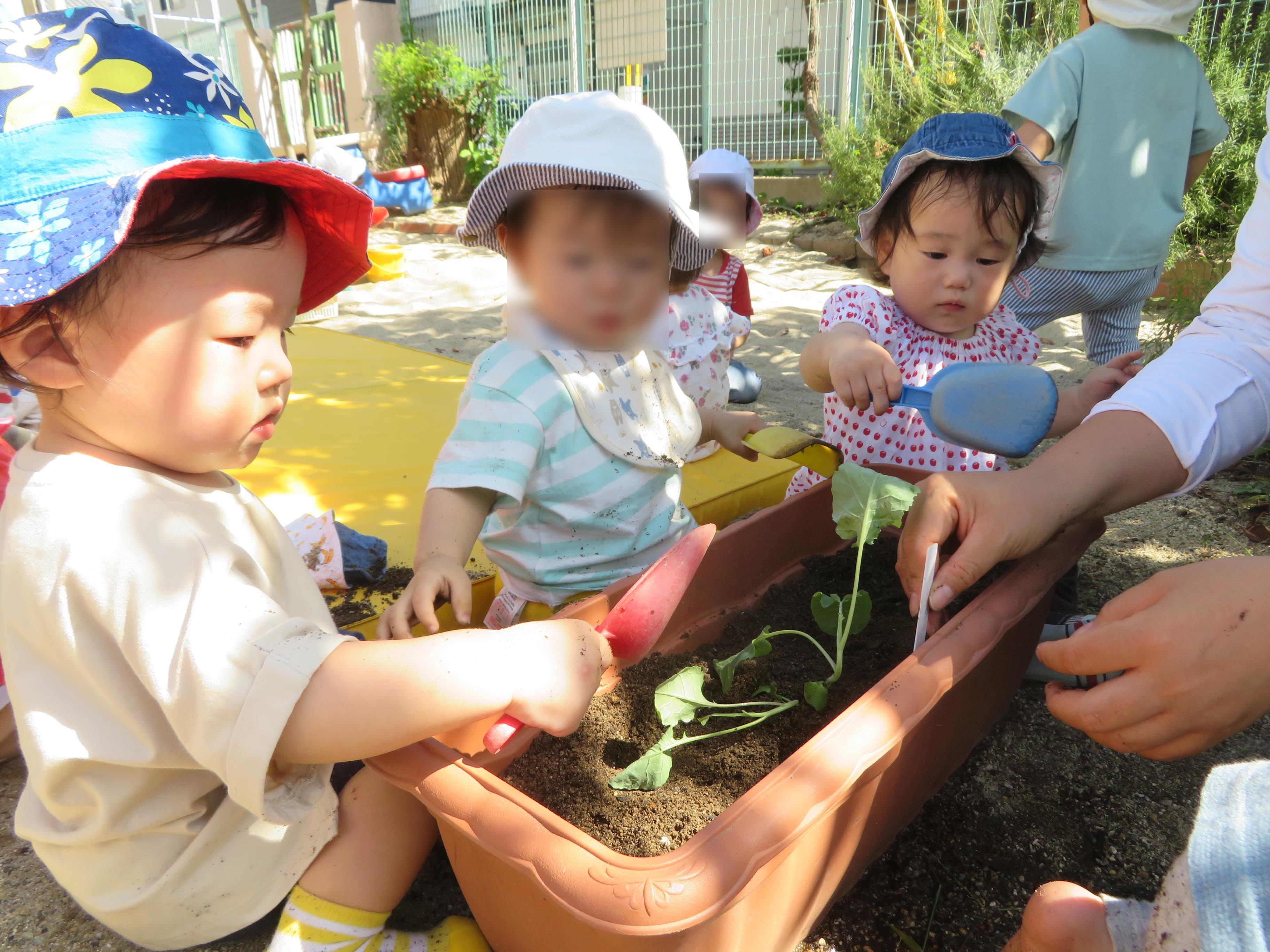 ブロッコリーの苗植え